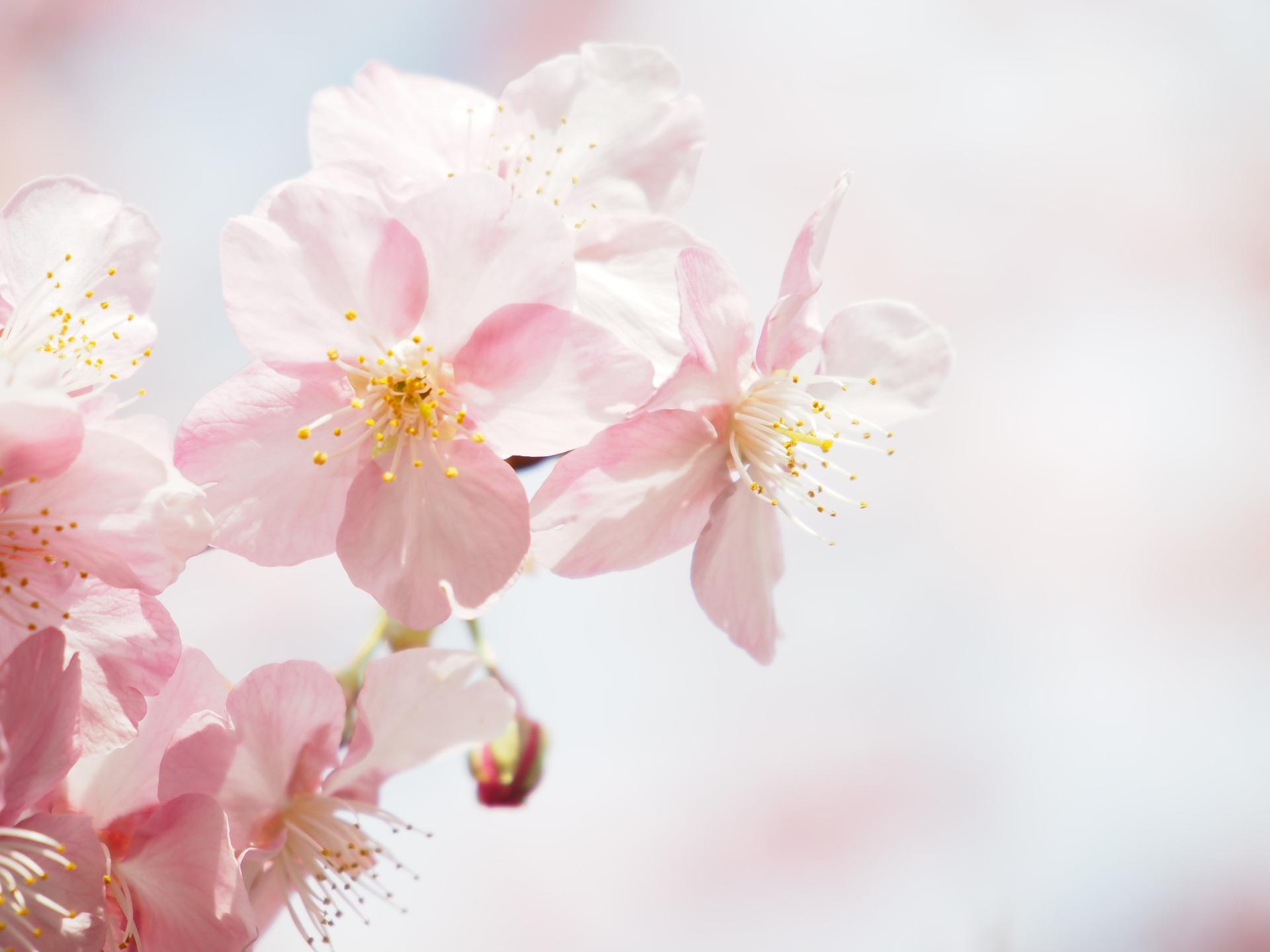 各地で桜の開花情報、続々!満開まで何日間くらいか調べてみた