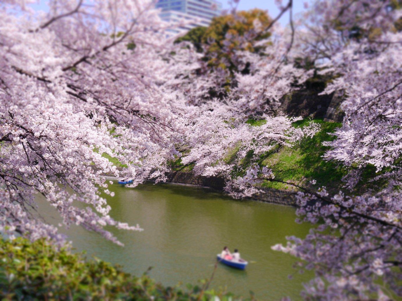 東京でサクラ開花 全国最速